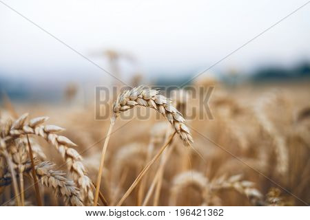 Wheat field in a summer day. Natural background. Sunny weather. Rural scene and shining sunlight. Agricultural