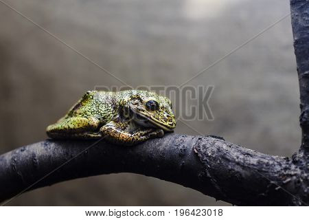 Lovely snoring green and yellow small frog resting on a tree brunch on the bokeh background