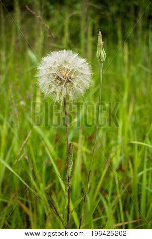 Tragopogon pratensis, this flower like dandelion has a ball similar to the ball only a few times more. It grows on beautiful sunny meadows.
