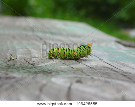 Caterpillar Of The Machaon In A Fighting Stance On A Wooden Surface In A Blurred Background