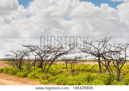 Naked trees and bushes at Cabo de la Vela desert