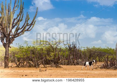 Cactus trees and goat at Cabo de la Vela desert