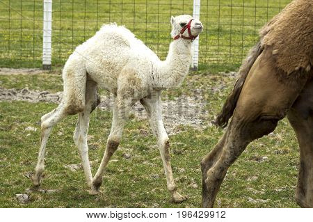 Young albino camel behind mother on a small farm field near Monroe, Indiana.