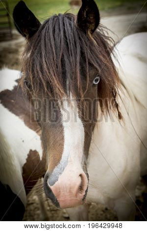 A close up portrait of a cute pony on a small farm near Monroe Indiana.