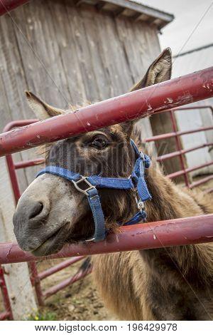 A cute donkey looks through a gate on a farm near Monroe Indiana.