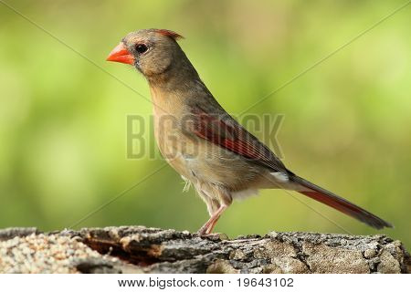Pretty Female Cardinal