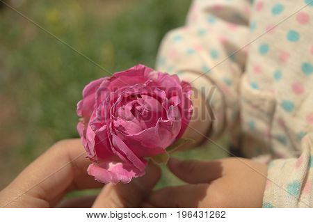 Woman's hand gives a pink rose to a child