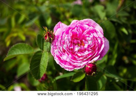 Fresh bunch of pink peony flower in a garden, selective focus