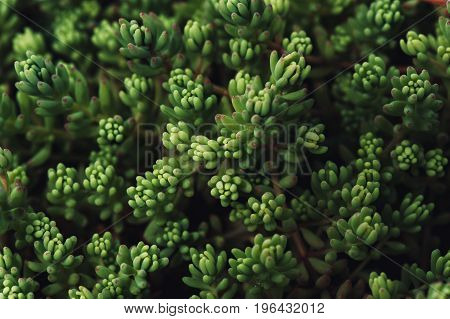 Sedum covering. Succulent plant. Natural texture in the form of small leaves.