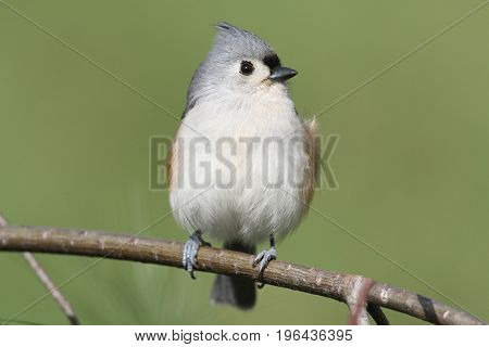 Tufted Titmouse (baeolophus bicolor) on a branch with a green background