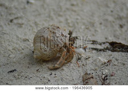 Hermit Crab with shell walking over the sandy beach