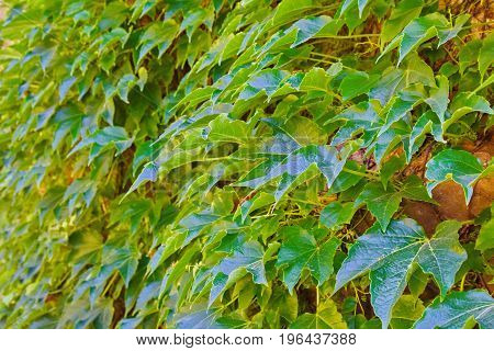 Green Veins Of Ivy Creeper On A House Wall, Beautiful Decorative Background