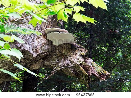 Big white mushrooms on an old natural tree trunk in the middle of a big Canadian forest.