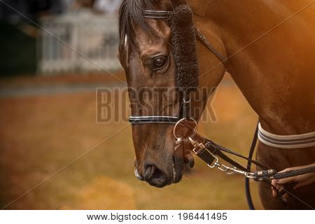 A head shot of a horse before race, close-up.