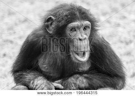 Monochrome close up of a baby chimpanzee