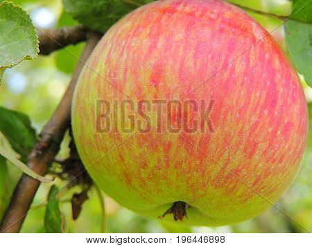 Organic tasty apple on a tree in summer, autumn home garden.