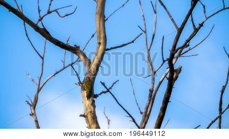 Gray-haired green woodpecker, Picus canus on the trunk of a dry tree.