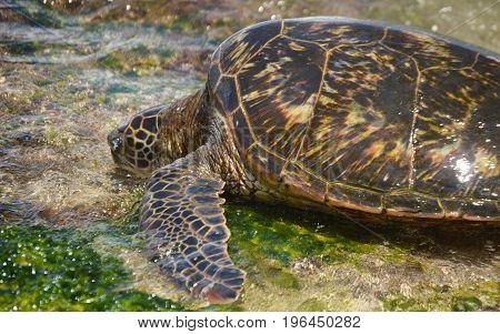 turtle approaching water at Laniakea Beach in Hawaii