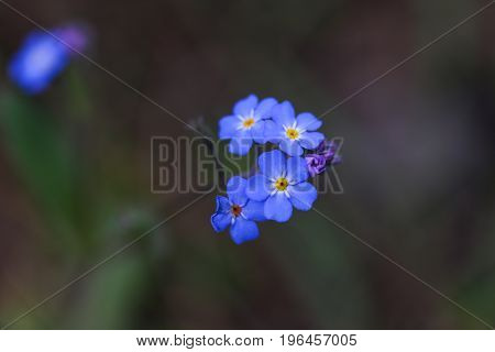 Close up of little blue flowers on dark background.
