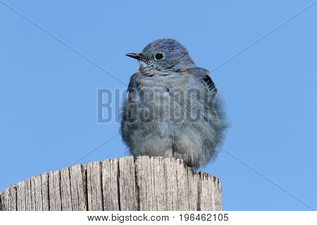 Male Mountain Bluebird (Sialia currucoides) in Grand Tetons National Park on a post