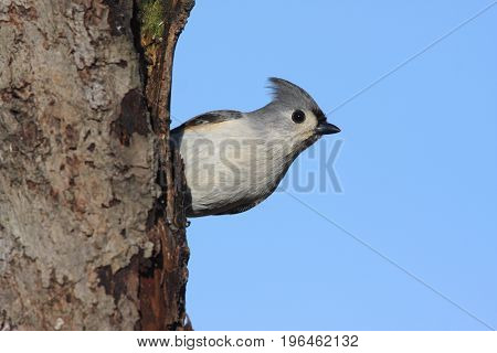 Tufted Titmouse (baeolophus bicolor) on a perch with a blue background poster