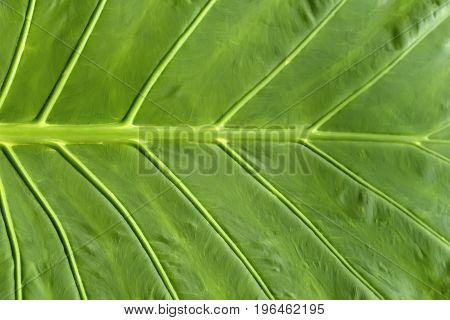 Background texture of a green juicy leaf, shown close-up