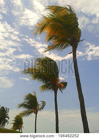 The palm trees of the Caribbean beaches