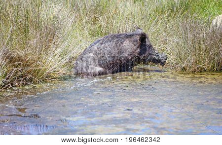 Wild pig cooling down in swamp on hot summer day