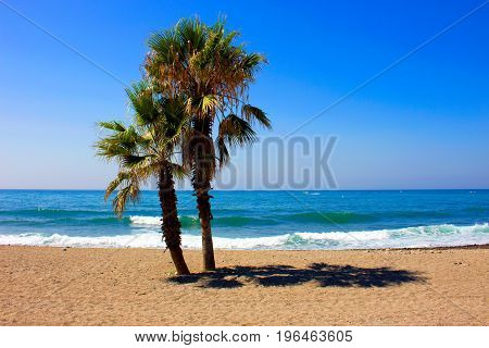 Palm tree. Palm tree in the beach. Costa del Sol, Andalusia, Spain.