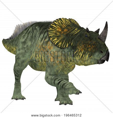 Brachyceratops Dinosaur on White 3d illustration - Brachyceratops is a herbivorous Ceratopsian dinosaur that lived in Alberta Canada and Montana USA in the Cretaceous Period.