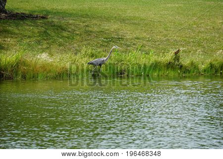 A great blue heron (Ardea herodias) hunts for fish along the shore of a small lake in Joliet, Illinois during July.