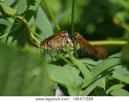 Butterfly (Acraea issoria (Yellow Coster) ) mating