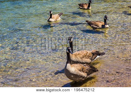 Five Geese Wading In Shallow Shoreline Of Mountain Lake