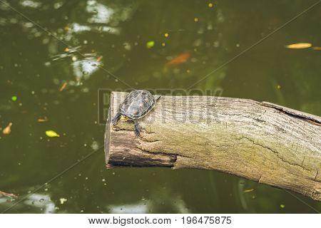 Western Pond Turtles Enjoying The Sun