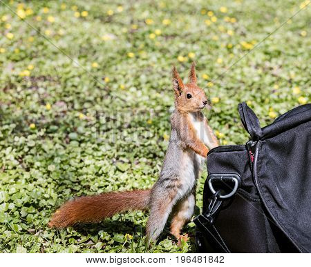 Little Squirrel Looking For Food Stands Near Bag In Park