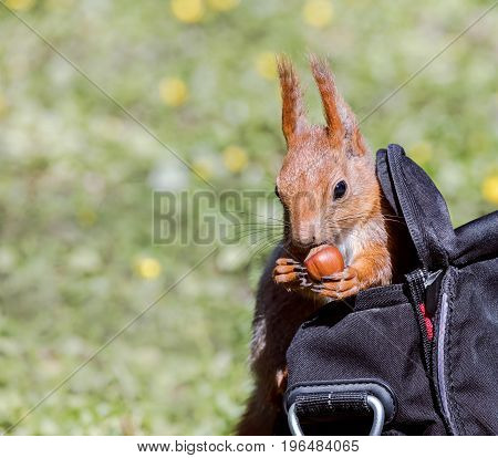 Funny Red Squirrel Sits In Park Visitor Bag With A Stolen Nut