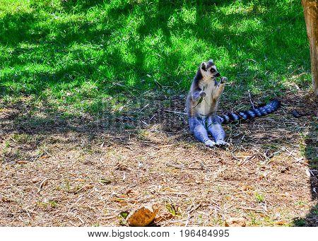 Lunching Lemur. A lovely little ring-tailed lemur settles down to a snack. lemur