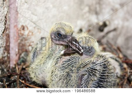 Pigeon Children In The Nest. Embrace
