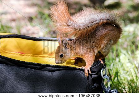 Red Squirrel Sitting On Bag And Searching For Food