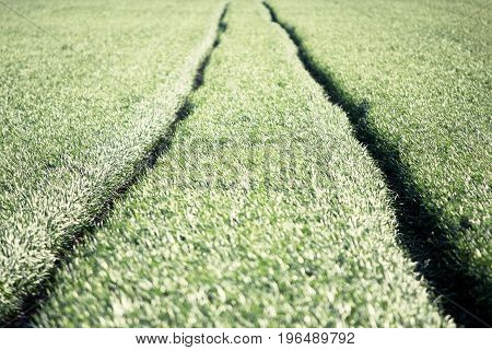 Agricultural rural background. Panoramic view to spring landscape with a field of green winter wheat seedlings.