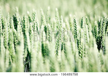 Agricultural rural background. Wide-angle view to spring landscape with a field of green winter wheat seedlings.