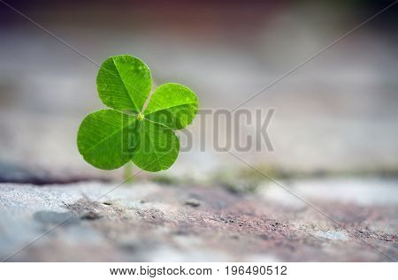 Four leaf clover grows between paving stones symbol for luck fortune and assertiveness of nature close up with copy space in the blurred background selected focus very narrow depth of field