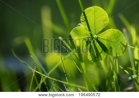 Four leaf clover or shamrock growing in the green grass morning backlight symbol for luck and fortune closeup with copy space in the blurry background selected focus narrow depth of field