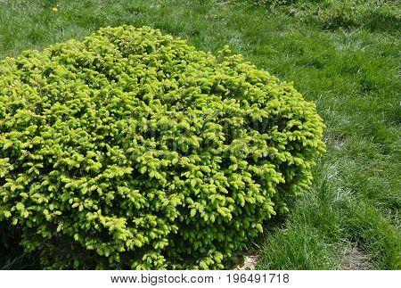 Close up on Globe Spruce Bush. Green Spruce shrub.
