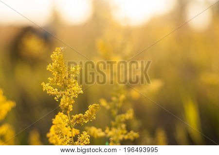 Evening landscape sunset in the meadow, on the grass and yellow plant. Soft selective focus.