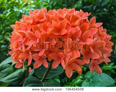 Red flower spike Rubiaceae Ixora coccinea It is a flowering shrub native to Southern India and Sri Lanka