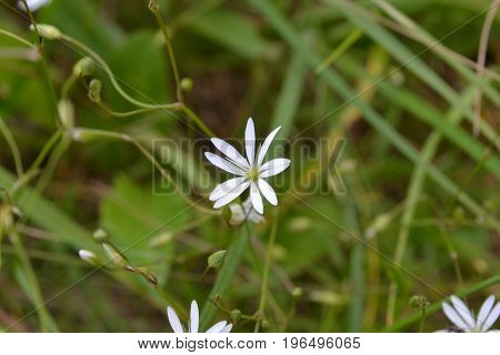 White flower with narrow petals against a background of green grass in a park in summer