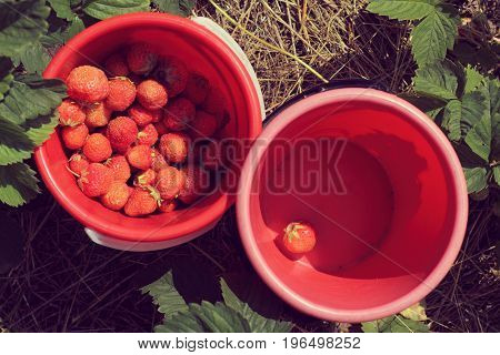 Red strawberries in buckets on beds top view / small and large berry crop