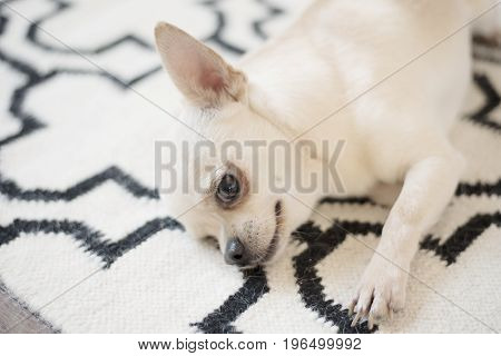 Cute Chihuahua Dog Sits On Scandinavian Rug Carpet On The Floor. Indoors, Sweet Home