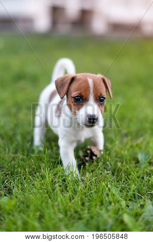 Jack russell dog on grass meadow. Little puppy walks in the park, summer.